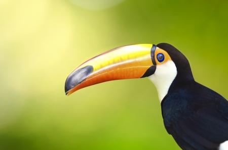 rainforest animal: toucan bird