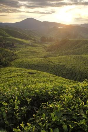 morning glory: misty morning in tea farm at Cameron Highland Malaysia  Stock Photo
