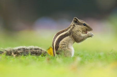 Common indian squirrel with natural green background  photo