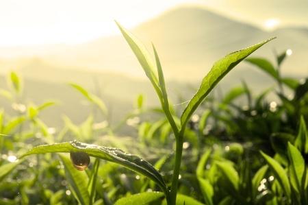 islamic wonderful: Tea Leaf with Plantation in the Background (Morning)  Stock Photo
