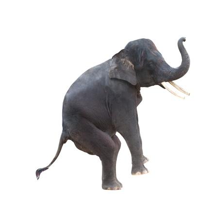 circus elephant: asian elephant isolated in white Stock Photo