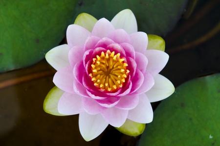 symmetrical lotus for conceptual photo  photo
