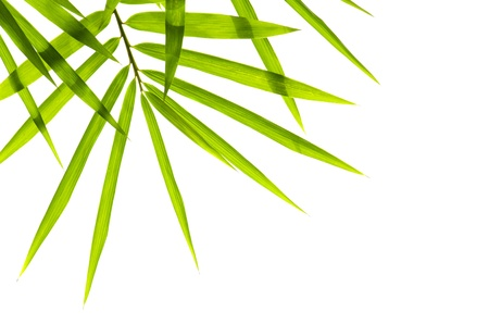 bamboo leaves: bamboo with isolated white background