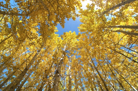 Upward view of Fall Aspen Trees  photo