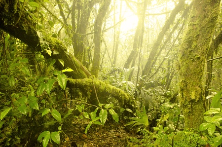 mossy forest, cameron highlands in malaysia. Softness due to fogs in the morning photo