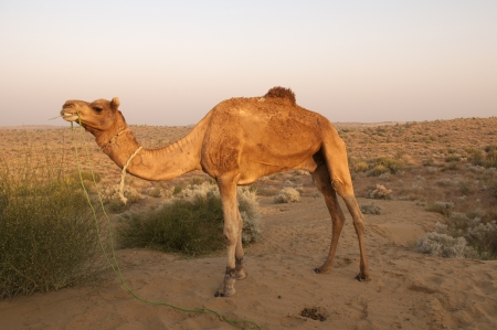 bikaner: Camel  Bikaner, India Stock Photo