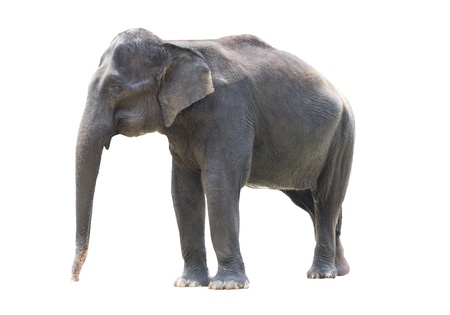 asiatic elephant standing and isolated in white Stock Photo - 14990236
