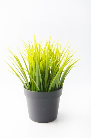 yucca: grass plant for indoor