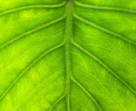 close up photo shot of yam leaf Stock Photo - 16323606