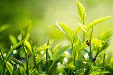 teepflanze: gr�ne Teebl�tter Lizenzfreie Bilder