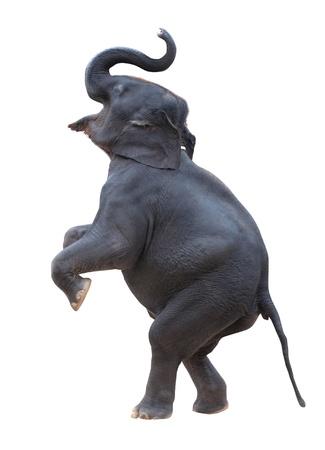 elefante: elefante de pie aislado con el fondo blanco Foto de archivo
