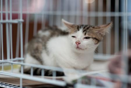 piojos: gato callejero enfermo de ser rescatado Foto de archivo