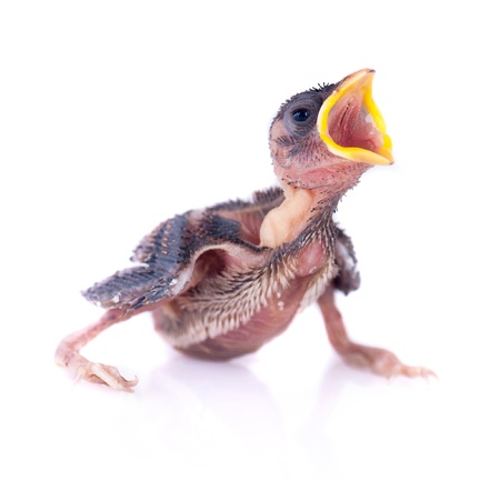 young bird: Baby bird of swallow solated on white and hungry for food