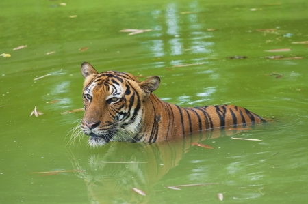 tiger swimming in the wild photo