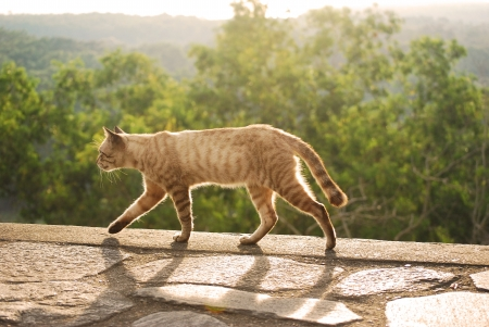 confiding: cat walking during sunset