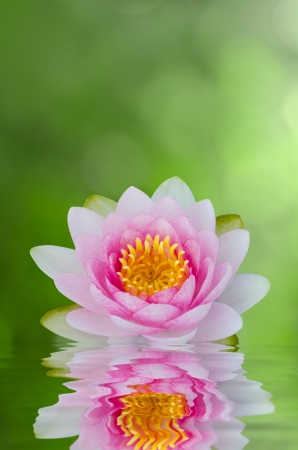water lily , lotus on water with reflections photo