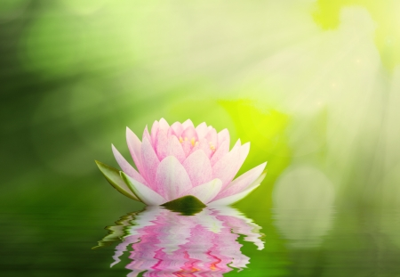 lotus blooming in the summer with ray of lights photo