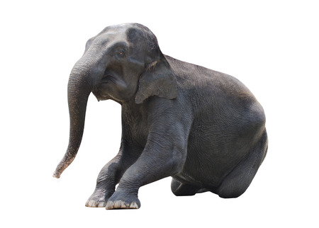 isolated elephant on a sitting position   photo