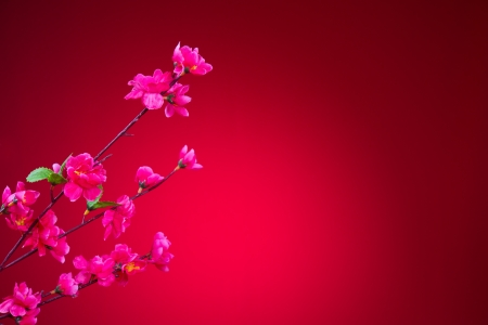 cherry blossom during chinese new year with red background photo