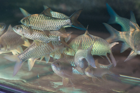 mahseer: empurau or ikan kelah in aquarium, most expansive tropical carp fish that can be found in malaysia