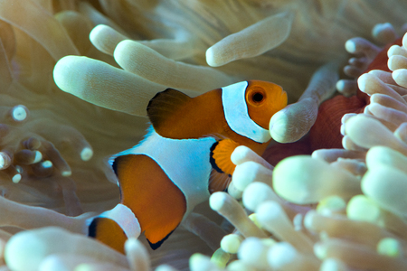 amphiprion ocellaris: clown fish hosting on anemone Stock Photo