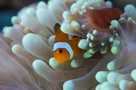 ocellaris: clown fish hosting on anemone Stock Photo