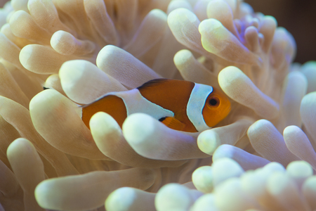 amphiprion: clown fish hosting on anemone Stock Photo