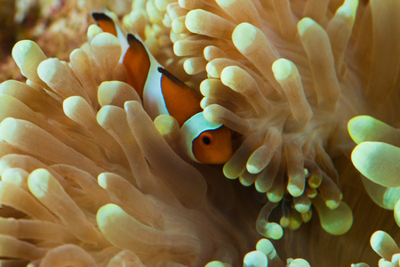 clown fish hosting on anemone Stock Photo