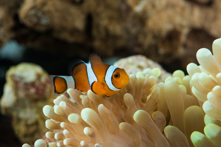 peculiar clown fish hosting on anemone