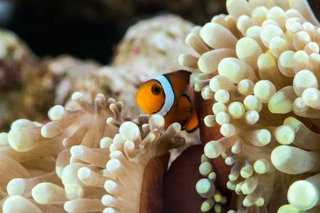 peculiar clown fish hosting on anemone