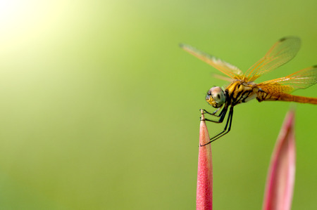 anisoptera: dragonfly cropped with copyspace Stock Photo