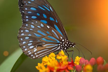 Mariposa temprano en la mañana Foto de archivo - 77340733