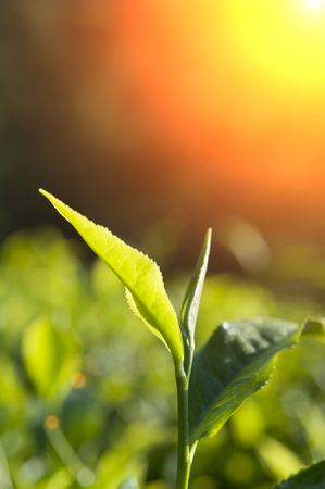 estate: green tea close up, cameron higlands malaysia Stock Photo