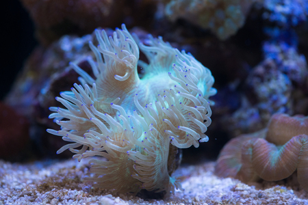 stony coral: Elegance coral