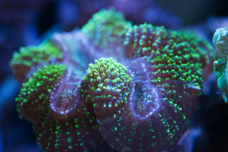 lobo brain coral