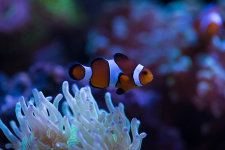 softcoral: clown fish with corals