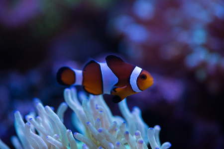 clown fish: clown fish with corals