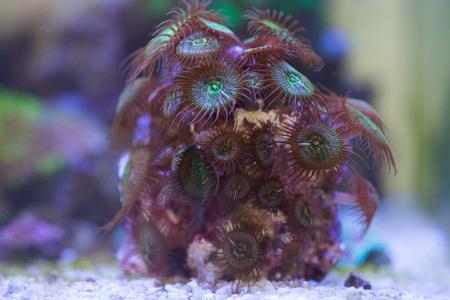 palythoa button coral