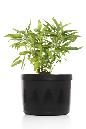 sage inside pot Stock Photo