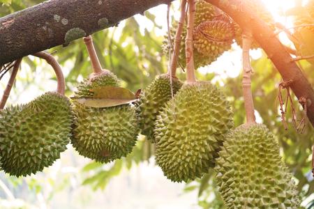 durian farm , musang king in focus