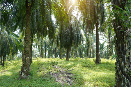 oil palm in the morning