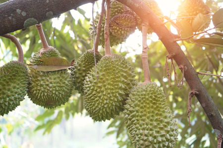 durian farm , musang king in focus