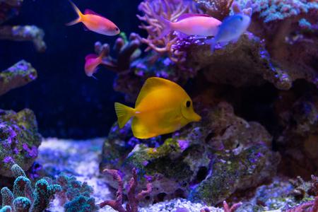 yellow tang close up