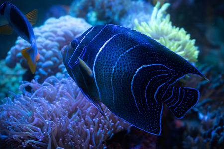 Emperor Angelfish on tropical reef