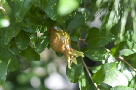 Green pomegranate fruit. A small, unripe pomegranate. An unripe pomegranate hanging from a branch.