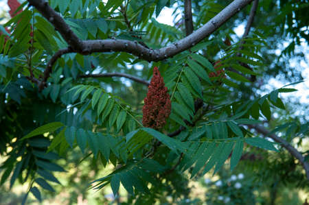 Staghorn sumac, Ornamental plant sumacdeer horn - vinegar tree. Flowering of the decorative sumac tree. Cone-shaped panicles of red-brown flowers of sumac.