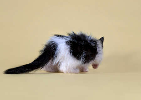 Close-up portrait of a kitten. A beautiful animal shot against a yellow background. Cute baby. Black and white kitten. Cute kitten examines the table. The kitten turned its back. Fluffy kitten.