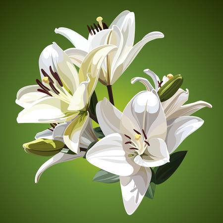 lilium: White flowers of Lilium candidum (Madonna Lily). Illustration on green background.