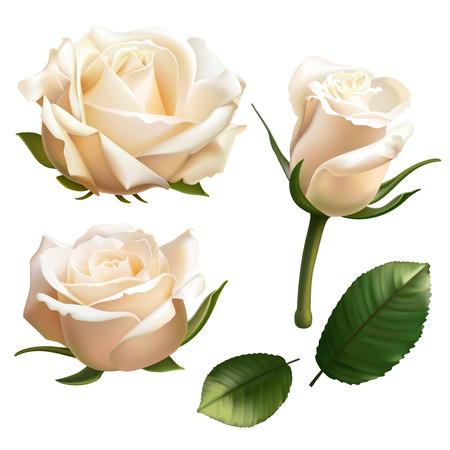 현실적인 흰 장미 그림입니다. 일러스트