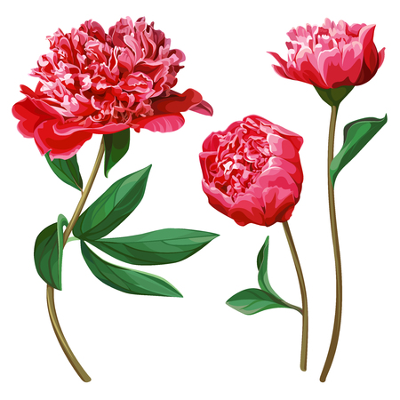 Set of red peonies isolated on white background.